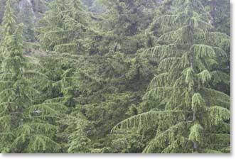 northwest_forest